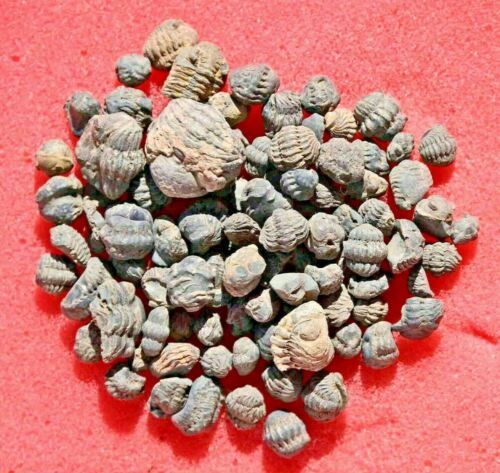 One Hundred Trilobite Fossils, Phacops (Acastoides), from Morocco #2