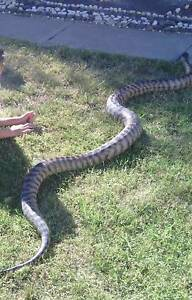 Adult Female Black Head Python - beautiful and placid Kyabram Campaspe Area Preview