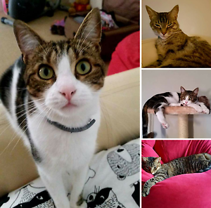 TWO MISSING CATS OLIVE & SAXON Joondalup Joondalup Area Preview