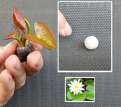 Kleinste Seerose der Welt weiß ! Dekoideen Dekoration für den Teich Gartenteich