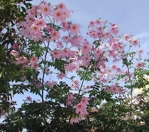Dahlia imperialis - TREE DAHLIA - 1 PLANT IN A 9CM POT -FREE P/P WHEN YOU BUY 3+
