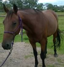 Handsome Standardbred Gelding Cooranbong Lake Macquarie Area Preview