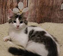 Rescue kittens looking for a loving home Brisbane South West Preview