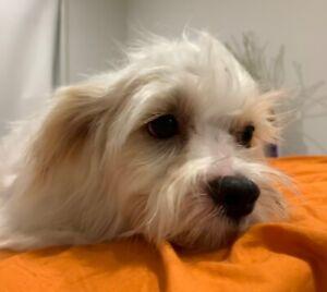 Maltese x Shih Tzu   Dogs & Puppies   Gumtree Australia Brisbane