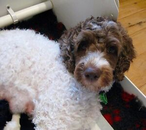 LABRADOODLE PUPPIES Toowoomba Toowoomba City Preview