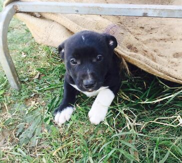 Staffy x Border Collie pups