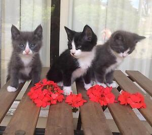 Ragdoll x Domestic Long Hair Kittens Blackburn North Whitehorse Area Preview
