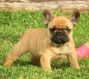 Pedigree purebred French Bulldog Puppies Bakery Hill Ballarat City Preview