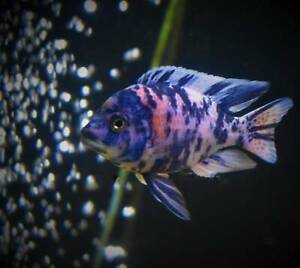 ½ Price Sale Ob Peacock Display Males African Cichlids