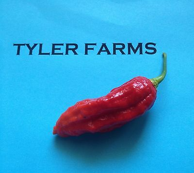 Used, 15+ Naga Viper  Pepper Seeds (chili, chile) hotter than Bhut Jolokia (Ghost) for sale  Encinitas