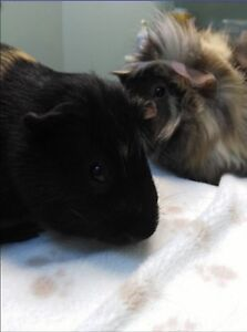 Guinea pigs need a new home!