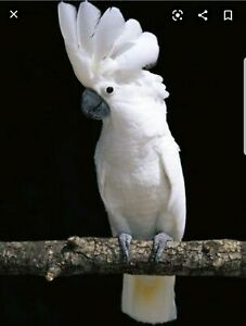 Wanted: WANTED Moluccan or umbrella cockatoo