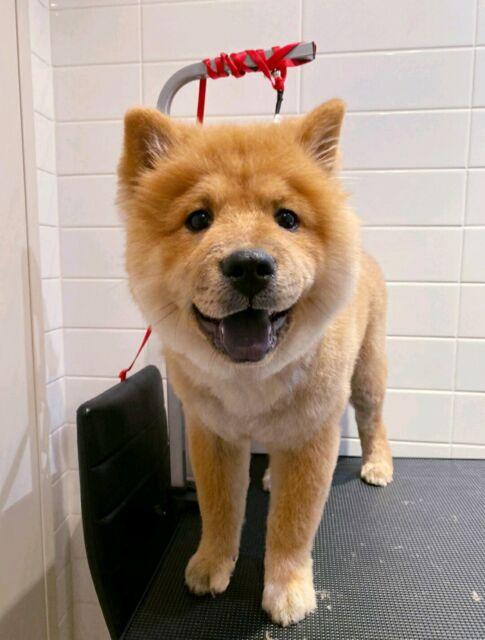 Female chowchow puppy | Dogs \u0026 Puppies