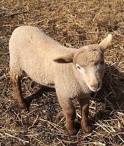 Ram Lamb $200-$150