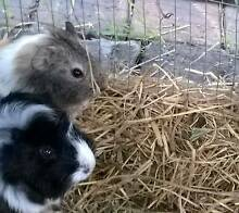Abyssinian Guinea Pig Bankstown Bankstown Area Preview