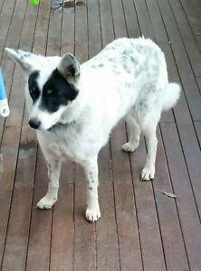 Blue Heeler x Hurstbridge Nillumbik Area Preview