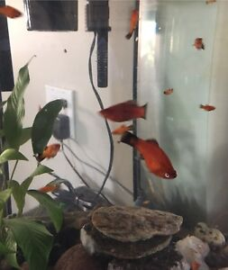 Fish -red wag platy