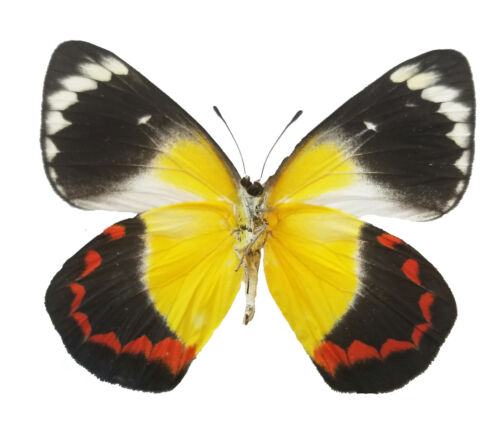 REAL Delias timorensis Butterfly, Sustainably Sourced, unmounted, red, yellow