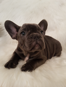 Registered Blue French Bulldog Wanneroo Wanneroo Area Preview