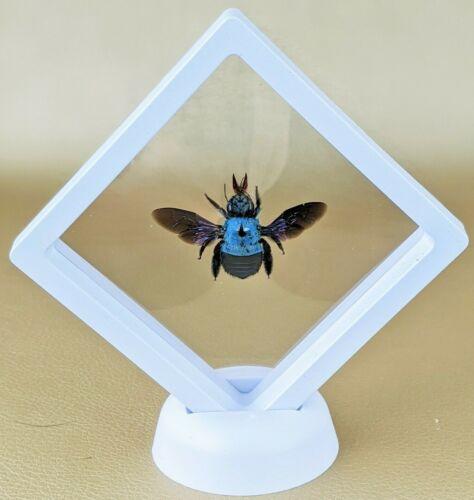 g89c Taxidermy Blue Carpenter Bee entomology specimen collectible oddities decor