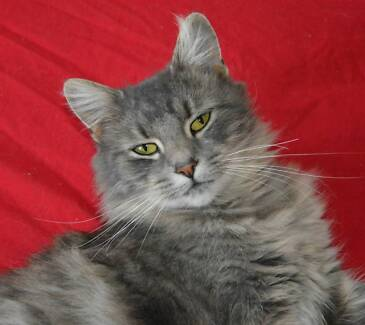 Foster carers required urgently for adult cats Bunbury 6230 Bunbury Area Preview