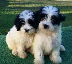 Fluffy puppies (schmoodles) Grafton Clarence Valley Preview