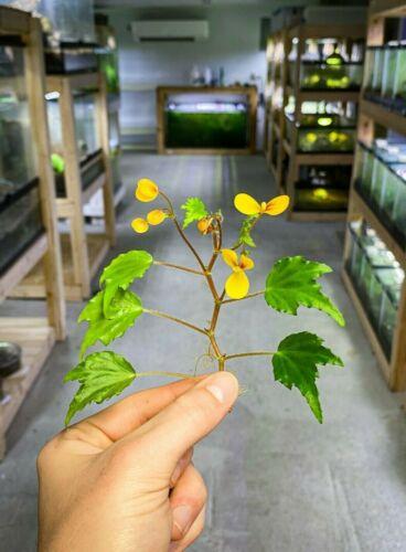 Begonia Prismatocarpa - Dart Frog Vivarium / Terrarium Plant - Live Stem Cutting