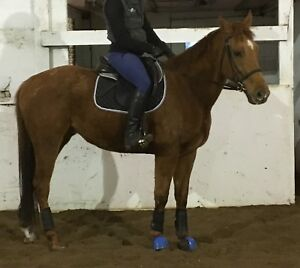 Thoroughbred gelding 2250$