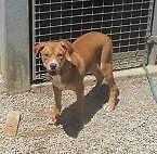 Boxer/Bullmastif/Kelpie X (Tilly ) is ready for adoption York York Area Preview
