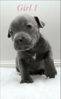SOLD- Purebred blue English Staffordshire terriers