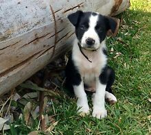 Gorgeous short haired purebred Border Collie Puppies Dapto Wollongong Area Preview