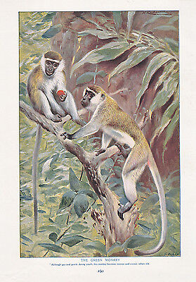 1910 NATURAL HISTORY DOUBLE SIDED PRINT ~ WHITE-HEADED GIBBON / GREEN - Gibbon Monkey