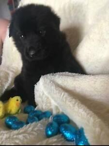 Black German Shepherd Puppies