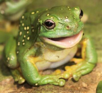 Magnificent Green tree frogs
