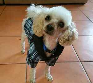 Expression of interest!   Toy Poodle 11 inchs Redland Area Preview