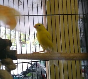 Young male canary