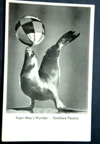 48290 Ak Sea Lion Pascha Kapt. May ´S Wonders with Ball On Nose
