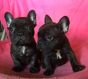 Quality French bulldog puppies North Sydney North Sydney Area Preview