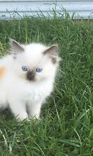 Purebred ragdoll kittens Belimbla Park Wollondilly Area Preview