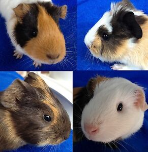 Guinea Pigs Beecroft Hornsby Area Preview