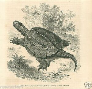 Snapping Turtle Tortue Serpentine Chelydra serpentina GRAVURE OLD PRINT 1862 - France - Type: Gravure Authenticité: Original Période: XIXme et avant - France