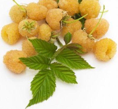 Golden Raspberry - British Columbia Fall Gold Raspberry -20 Seeds- Golden & Rich Sweet Raspberries