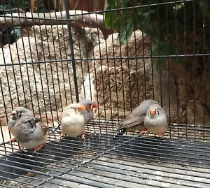Zebra finches Tingha Guyra Area Preview