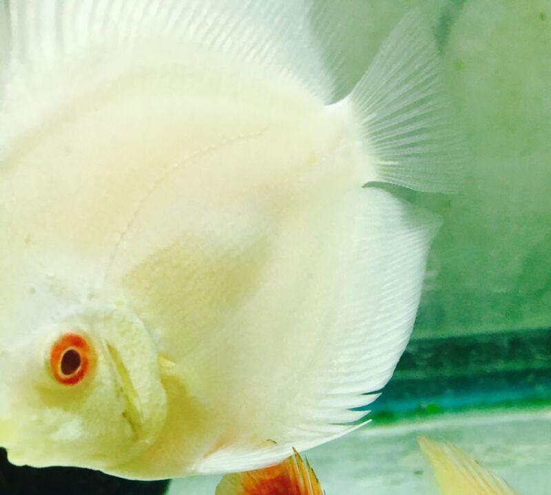 Albino Blue Diamond Discus Fish large