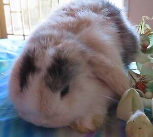 purebred baby mini lop rabbit Japanese Vienna Harlequin Sydenham Brimbank Area Preview