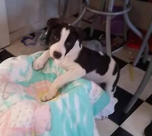 Staffy x Mastiff pups Glendale Lake Macquarie Area Preview