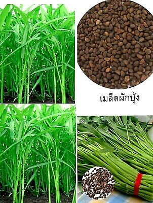 420 Pcs Vegetable Garden Seeds Water KANG Plant Leaf Green SPINACH Morning Glory