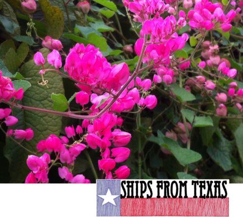 Antigonon Leptopus// Liane Corail// Coral Vine Lot de 12 graines//seeds