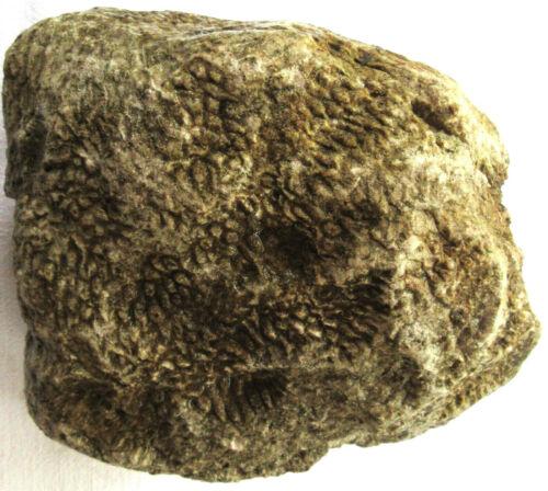 Unpolished Michigan Petoskey Stone - Hexagonaria - Coral Fossil - 17.75+ Pounds