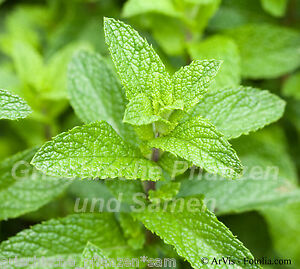 Spearmint Mentha spicata 50 Semi vero menta da tè Pianta ...